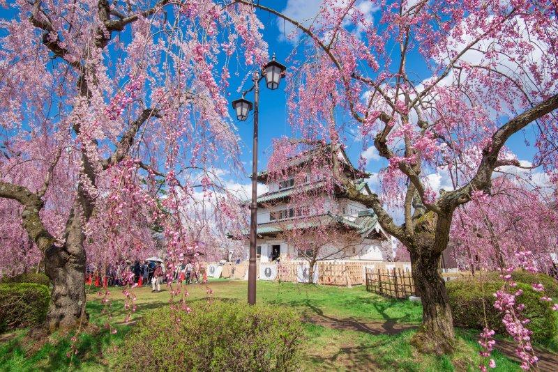 Die Burg Hirosaki ist zur Kirschblütenzeit besonders beliebt.