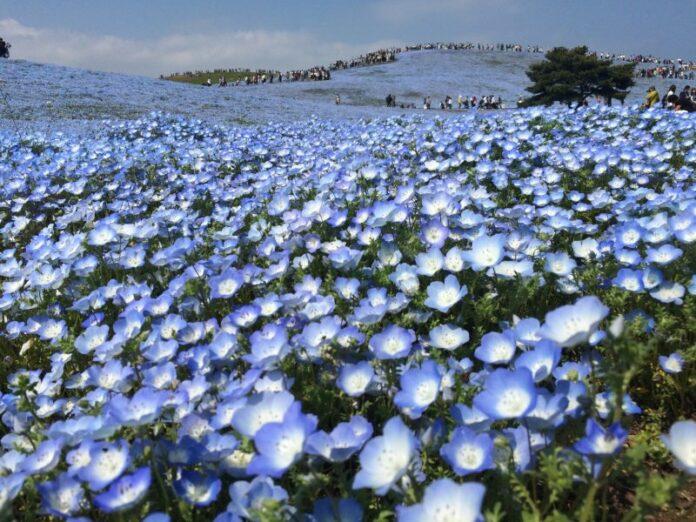 Blütenpracht soweit das Auge reicht im Hitachi Seaside Park.