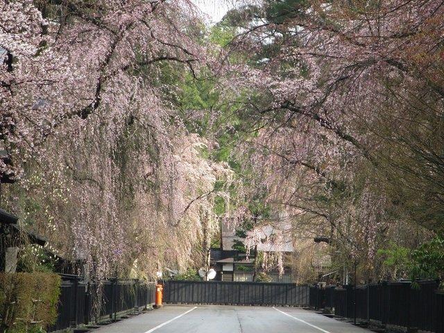 Kirschblüten im Kakunodate Samurai Bezirk in Akita.
