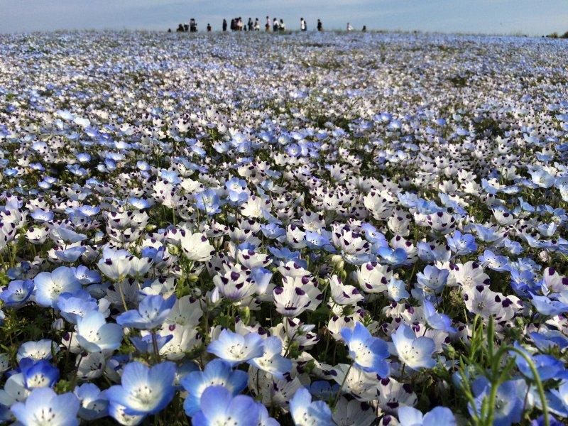 Der Hitachi Seaside Park ist im Frühling übersäht mit blauen Hainblumen.