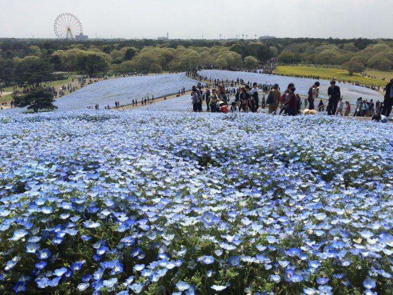 Das Areal des Hitachi Seaside Parks in Ibaraki ist riesig.