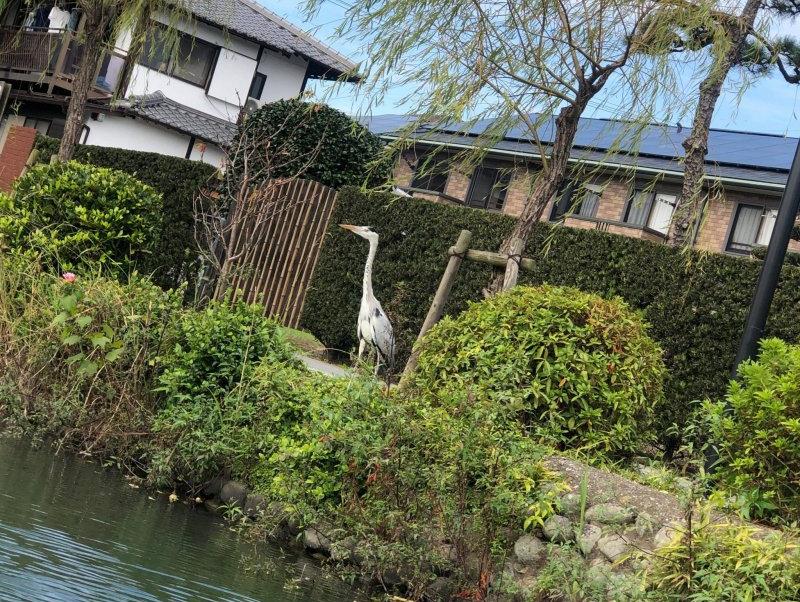 Am Ufer der Kanäle sieht man in Yanagawa oft Reiher.