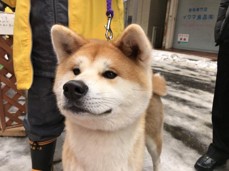 Akita Hunde sind nicht nur in Japan beliebt.