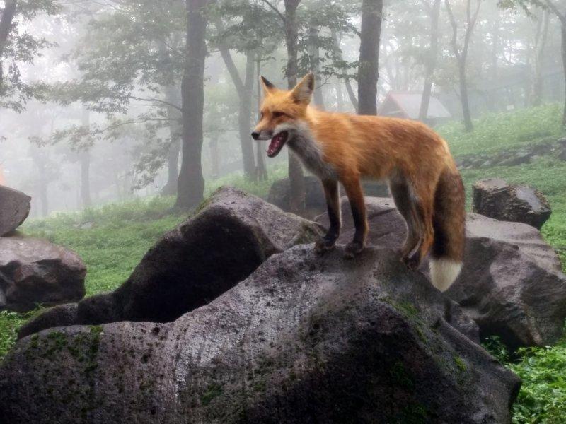 Das Zao Fuchsdorf ist eine Attraktion Miyagis, jedoch sollte das Tierwohl im Vordergrund stehen.