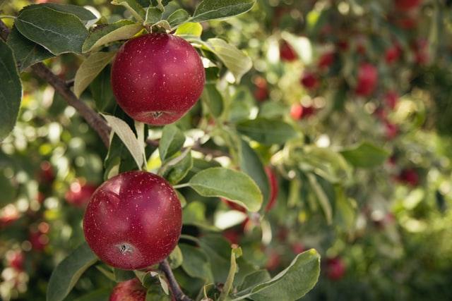 Pflücke Äpfel, während du in Gunma bist.