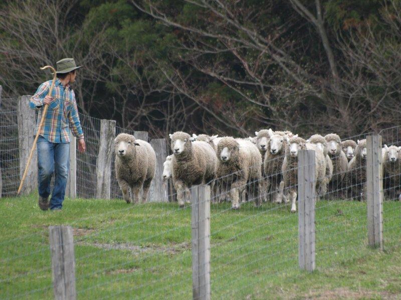 Schafe auf der Koiwai Farm.