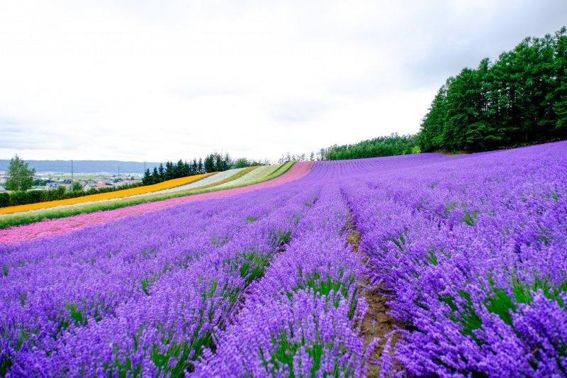 Blühender Lavendel auf der Tomita Farm, Hokkaido.