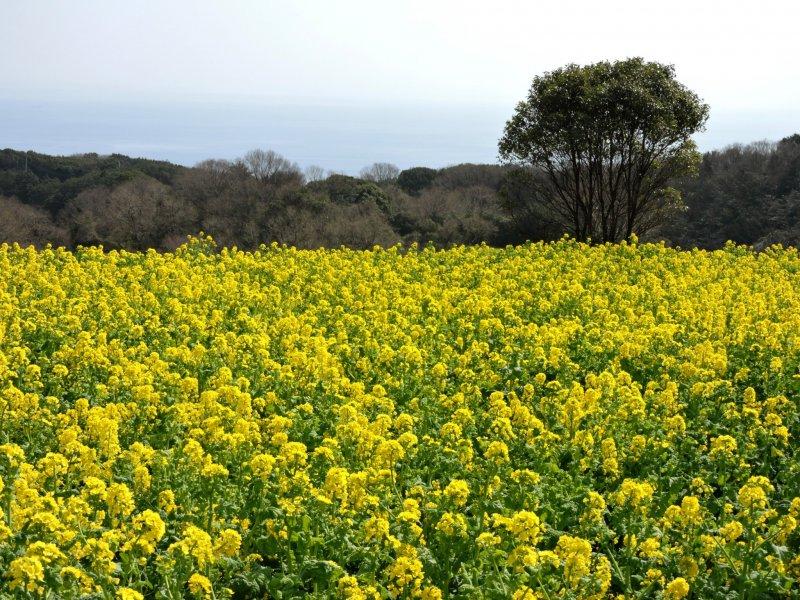 Blumenmeer im Hanasajiki Park.