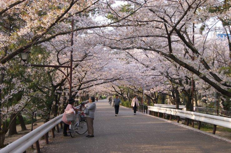 Kirschblüten entlang des Shukugawa.