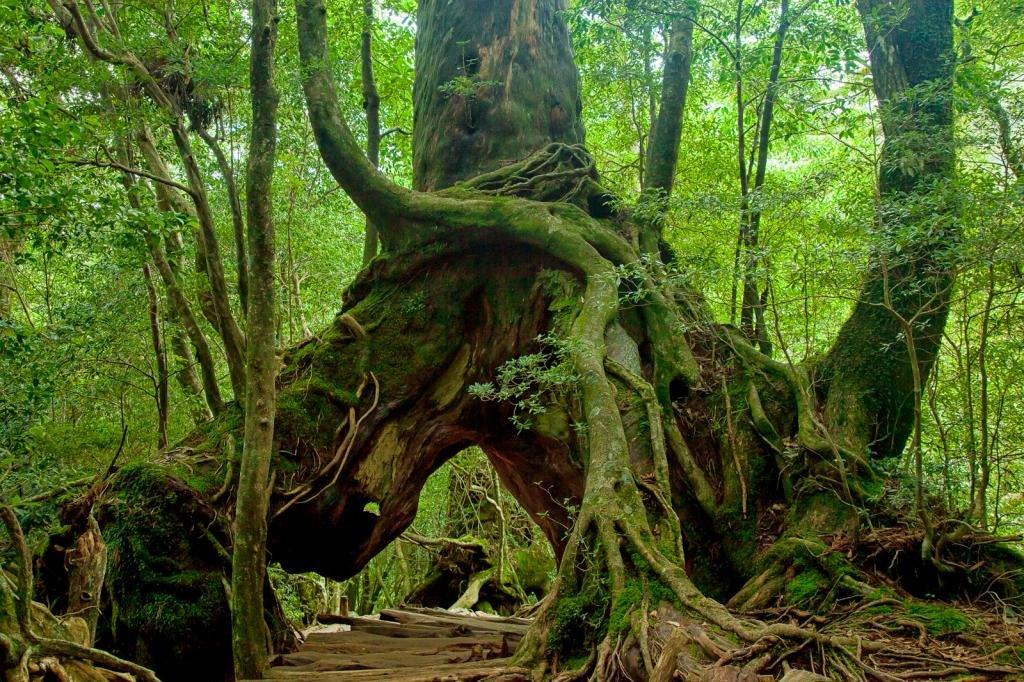 Manche Pfade in Shiratani Unsuikyo führen unter riesigen Bäumen hindurch.