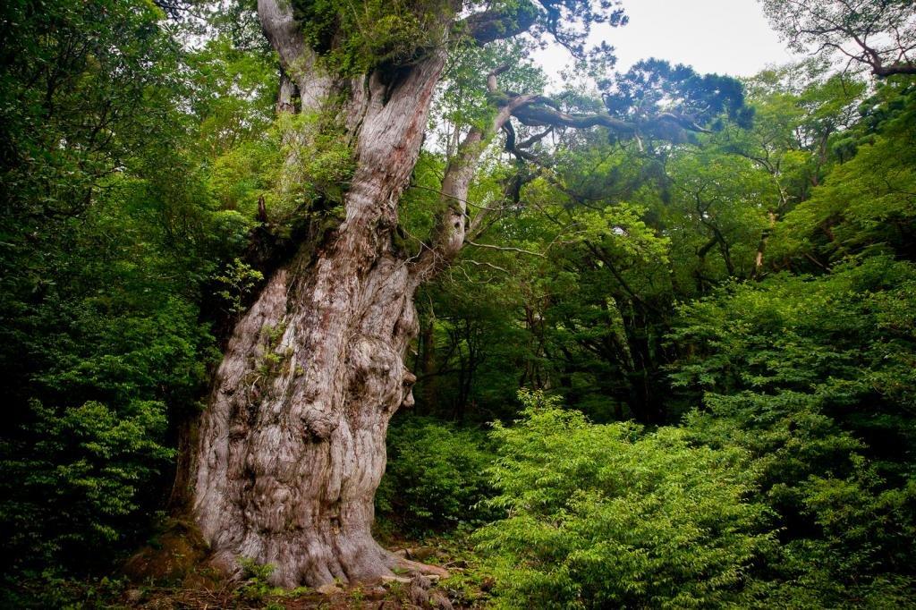 Uralte Zedern machen Yakushima zu einem UNESCO-Weltnaturerbe.