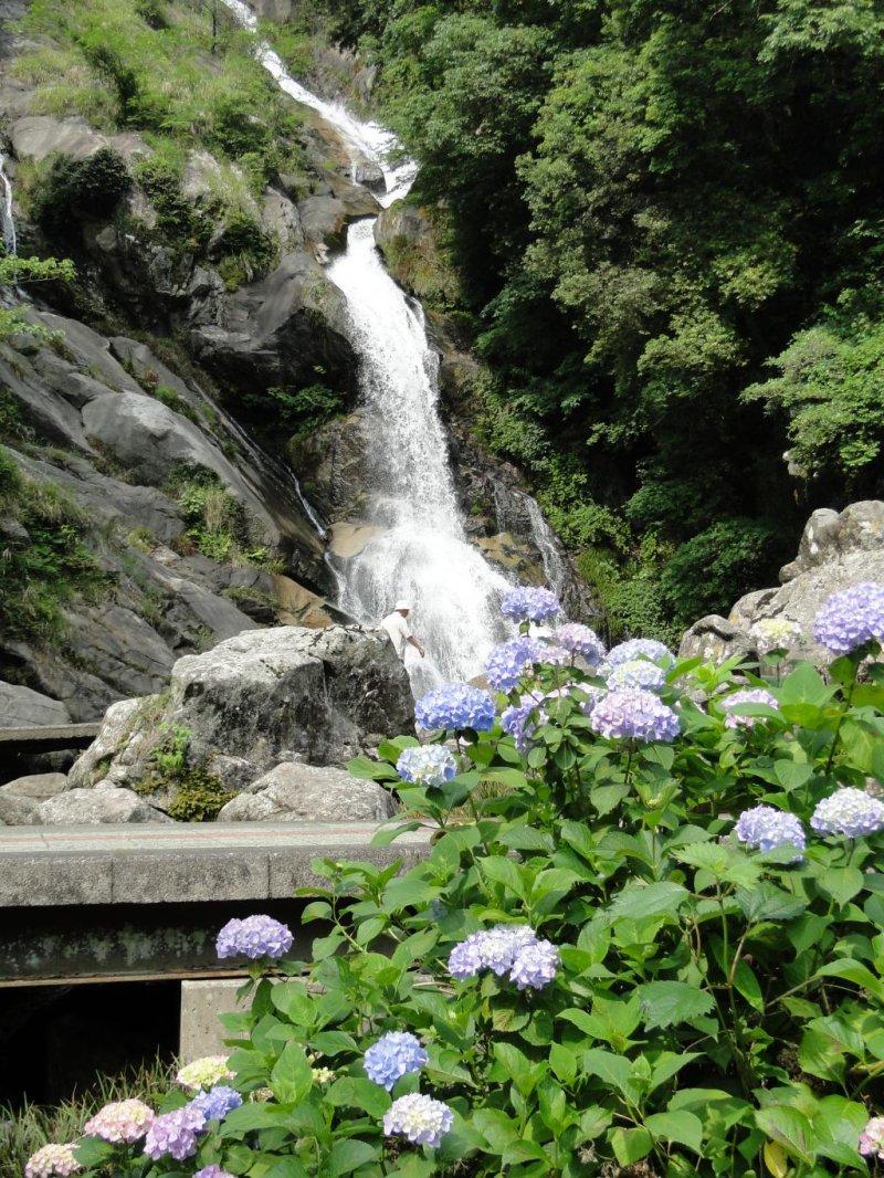 Blühende Hortensien vor dem Wasserfall.