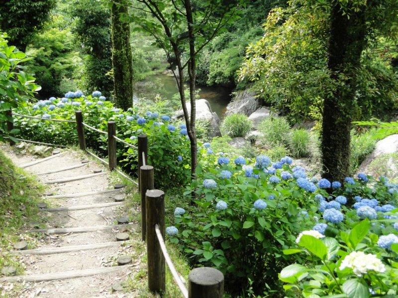 Der Wanderpfad zum Mikaeri Wasserfall ist im Juni gesäumt von Hortensien.