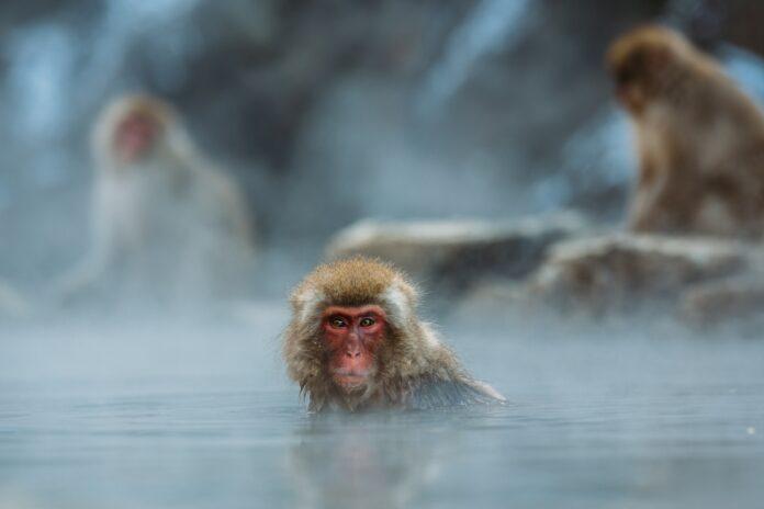 Badende Affen im Jigokudani Monkey Park