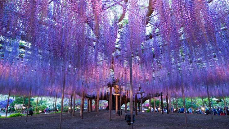 Whisteria im Ashikaga Flower Park
