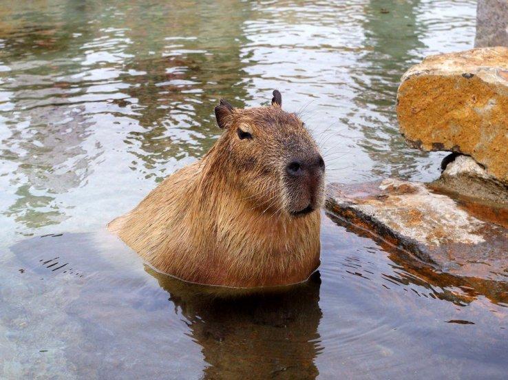 Badendes Wasserschwein im Nasu Animal Kingdom