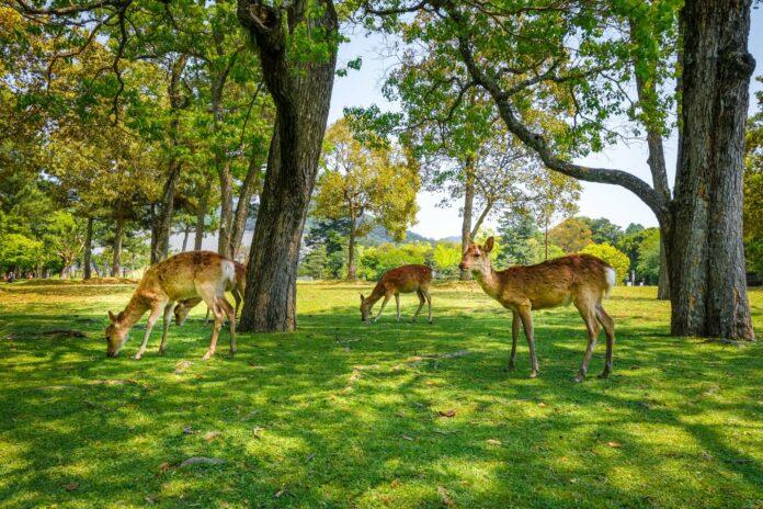 Hirsche im Nara Park.